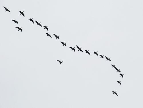Fugletræk_4596